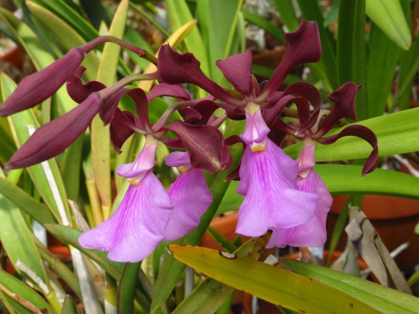 Enc_cordigera rosea clone2-1