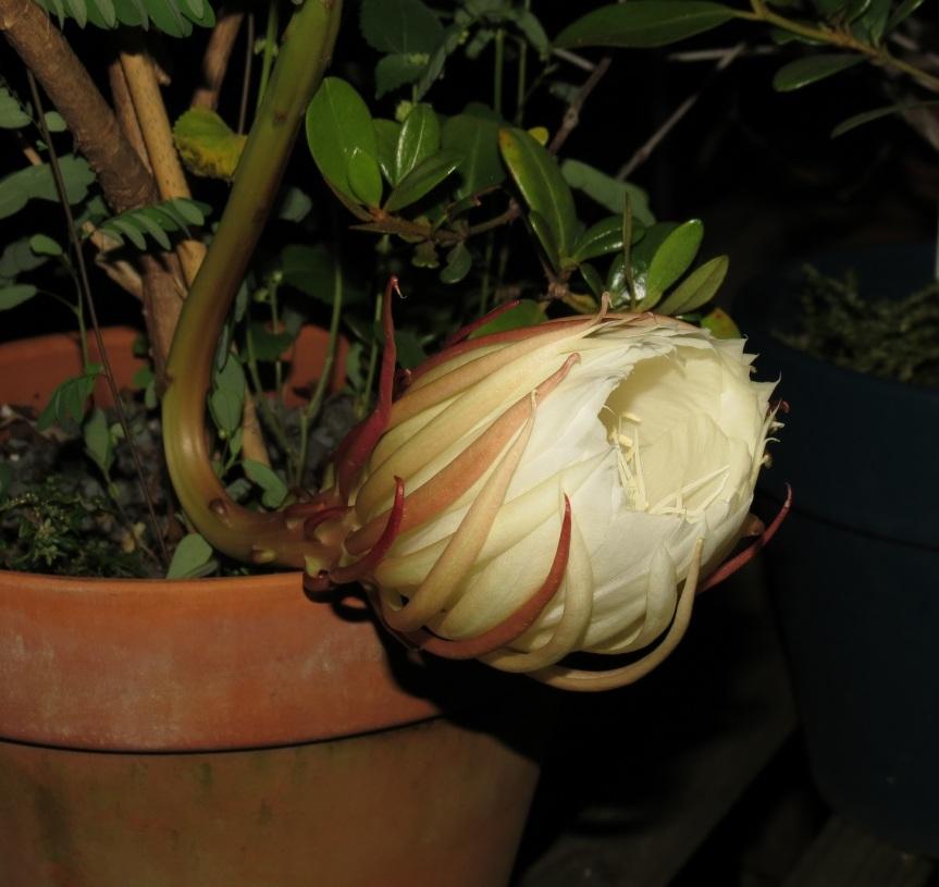 Epiphyllum1
